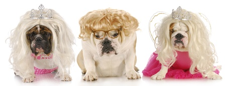 three divas - english bulldogs with sour expressions wearing female clothing on white background photo