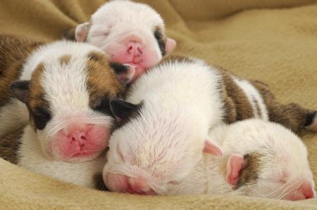 one week old litter of puppies - english bulldog