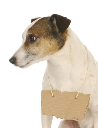 dog wearing sign - jack russell terrier with cardboard sign around neck  photo