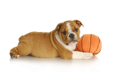 puppy playing - english bulldog puppy playing with a ball - nine weeks old Stock Photo