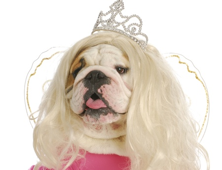 ugly girl: ugly princess - english bulldog wearing wig and princess costume on white background