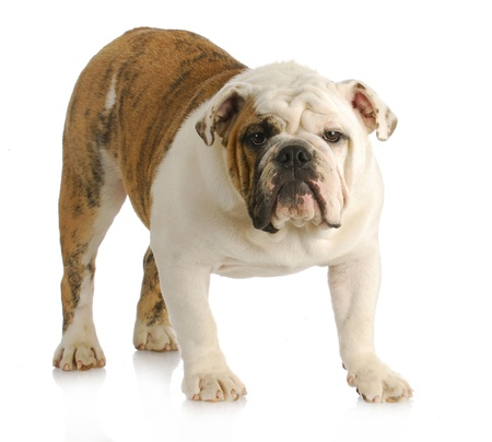 old english: english bulldog standing looking at viewer with reflection on white background Stock Photo