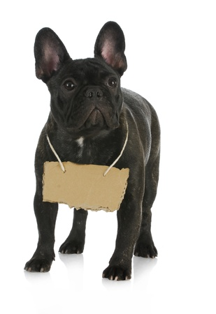 french bulldog wearing cardboard sign around neck on white background photo