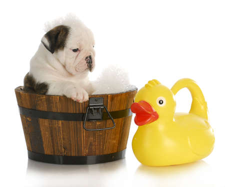 pet grooming: puppy bath time - english bulldog puppy in wooden wash basin with soap suds and rubber duck