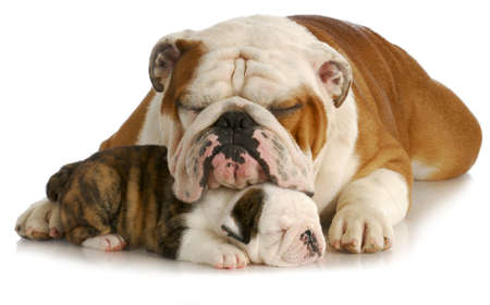 english bulldog: bulldog father and puppy sleeping with reflection on white background - pup is 7 weeks old Stock Photo