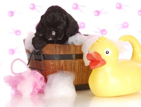 bath time: puppy bath time - american cocker spaniel puppy getting a bath