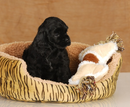 puppy in dog bed - seven week old American cocker spaniel puppy  photo
