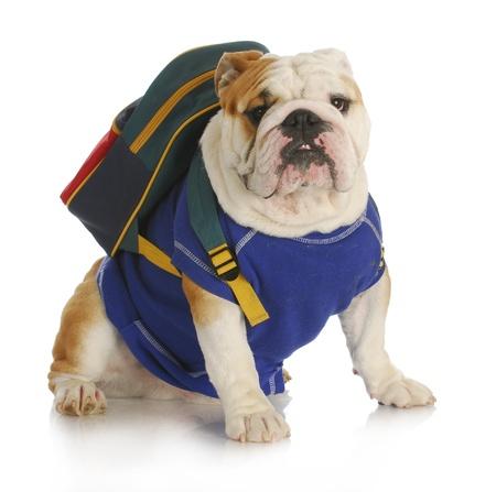 dogo: perro de la escuela - Bulldog Inglés llevaba camisa azul y una mochila para la escuela en el fondo blanco Foto de archivo