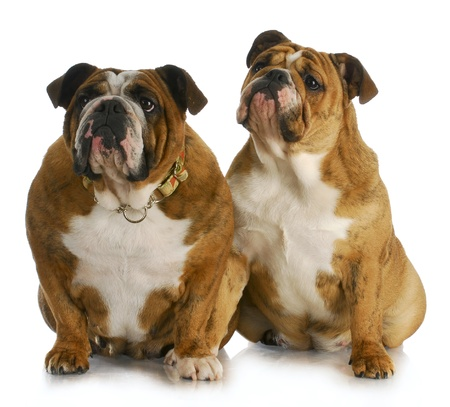 alike: mother and daughter - english bulldog mother and puppy sitting with reflection on white background