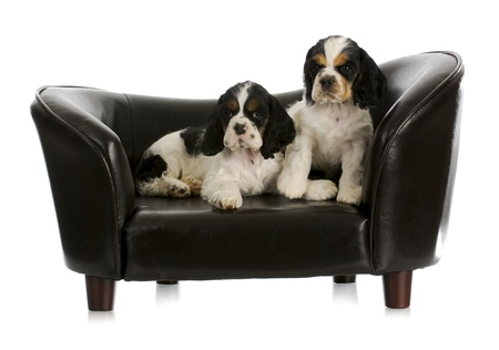 two puppies on a dog couch - american cocker spaniel - 8 weeks old photo