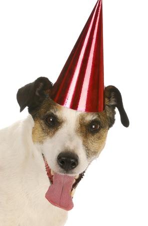 birthday dog - jack russel terrier wearing red birthday hat on white background photo