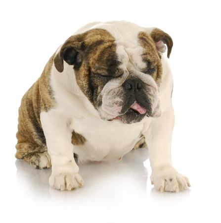 disgusted dog - english bulldog with disgusted looking expression sitting on white background photo