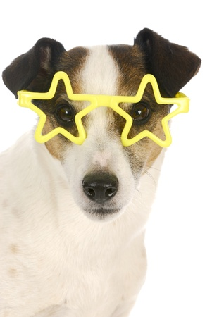 jack russel: famous dog - jack russel terrier wearing yellow star shaped glasses on white background Stock Photo