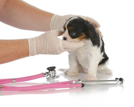 cavalier: veterinary care - cavalier king charles spaniel puppy being examined by veterinarian on white background Stock Photo