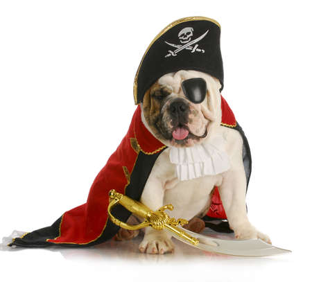 sombrero pirata: perro pirata - Ingl�s bulldog vestido como un pirata sobre fondo blanco Foto de archivo