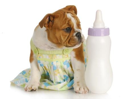 nursing bottle: bottle feeding puppy - english bulldog sitting beside baby bottle