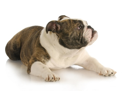 stocky: dog looking up with concerned expression on white background - english bulldog