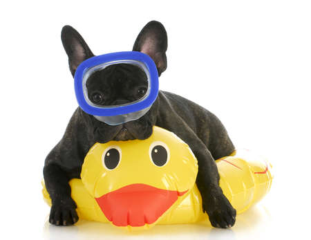 life preserver: dog swimming - french bulldog wearing swimming mask laying on yellow duck life preserver