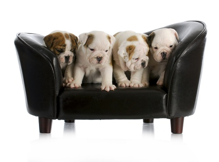 litter of english bulldog puppies sitting on a dog couch with reflection on white background photo