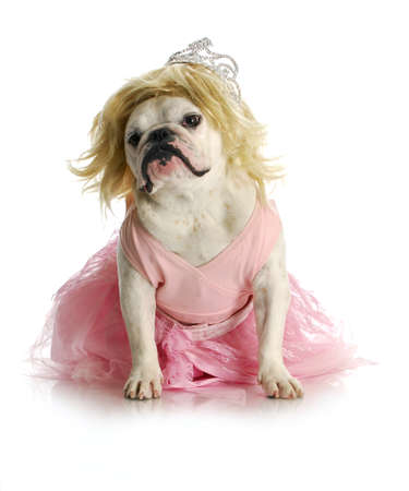wig: spoiled dog - english bulldog dressed up like a princess