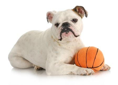 english bulldog puppy: dog playing ball - english bulldog laying with stuffed basketball on white background Stock Photo