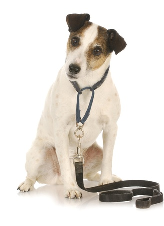 dog leash: dog exercise - jack russel terrier waiting to go for a walk  Stock Photo