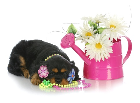 spring puppy - cute cavalier king charles spaniel female with watering can and flowers photo