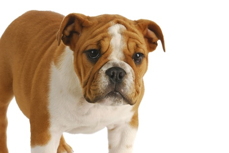 cute puppy - english bulldog puppy standing looking at viewer on white background photo