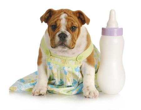 nursing bottle: bottle feeding puppy - english bulldog puppy female sitting beside baby bottle with reflection on white background