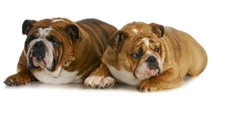 bulldog mother and daughter that look the same laying together on white background photo