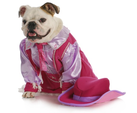 pink hat: dog dressed up like a cowgirl - english bulldog wearing western costume sitting on white background