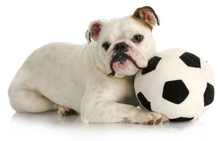 playful puppy - english bulldog playing with soccer ball with reflection on white background photo