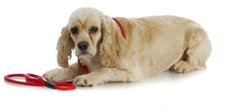 dog on a leash - american cocker spaniel laying down waiting to go for a walk on white background photo