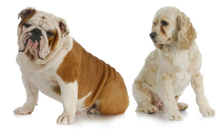 two dogs - american cocker spaniel looking over shoulder at english bulldog on white background Stock Photo - 11221545
