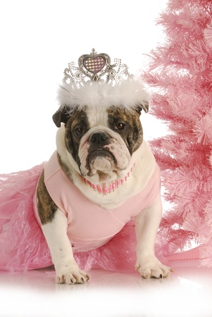 pampered pets: christmas princess - english bulldog wearing princess costume sitting beside pink christmas tree on white background
