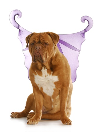 good dog - dogue de bordeaux wearing angel wings with reflection on white background photo