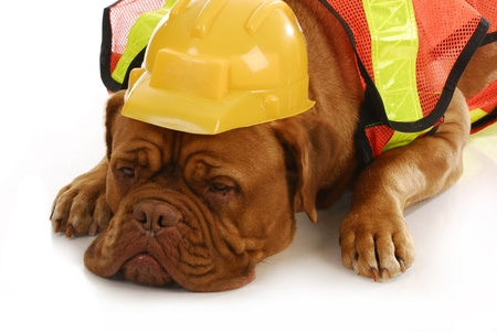 working dog - dogue de bordeaux wearing construction worker costume laying on white background photo