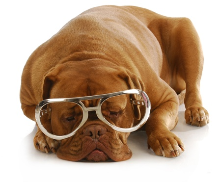 molosse: smart dog - dogue de bordeaux wearing large glasses  Stock Photo