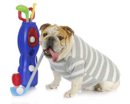 golf cart: dog golfer - english bulldog playing golf on white background