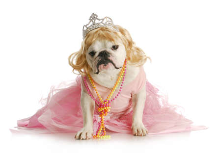 show dog: spoiled female dog  - english bulldog dressed like a princess on white background Stock Photo