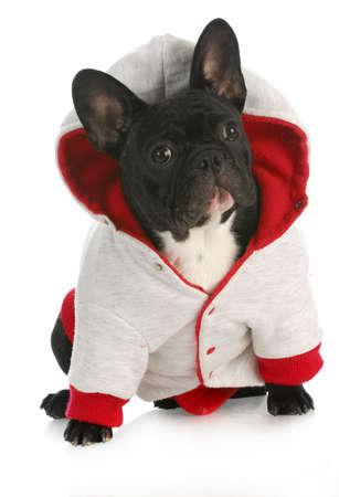 mujer perro: perro que lleva abrigo - bulldog franc�s vestida de rojo y un abrigo perro gris sobre fondo blanco Foto de archivo
