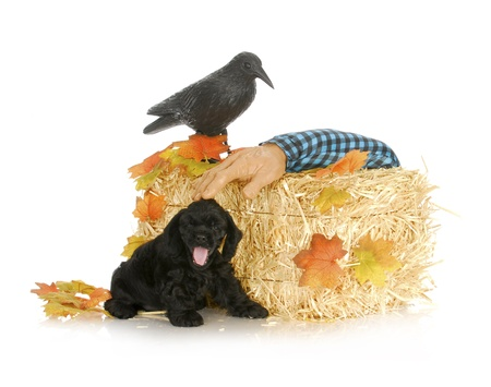 halloween puppy - american cocker spaniel puppy in autumn setting photo