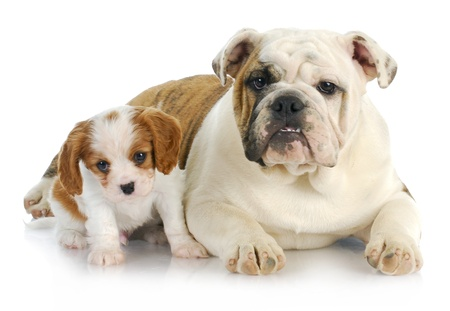 two puppies - cavalier king charles spaniel and english bulldog puppies on white background photo
