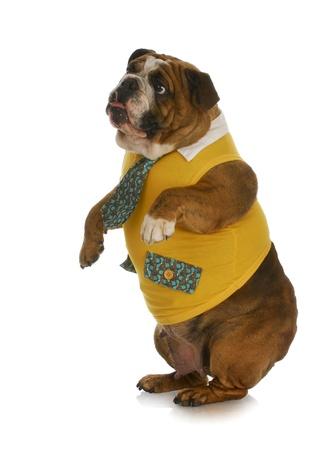 bulldog puppy: bulldog wearing yellow shirt and tie standing up