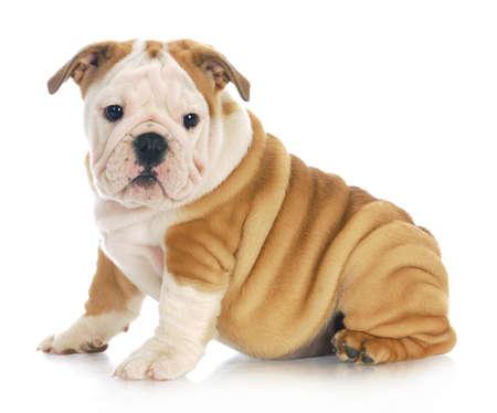 Engels bulldog puppy zitten kijkend naar kijker met een reflectie op witte achtergrond - 11 weken oud