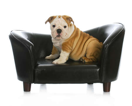 white sofa: puppy on a dog bed - english bulldog puppy sitting on a dog couch - 11 weeks old