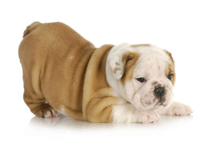 walking down: playful puppy - english bulldog puppy with bum in the air - 6 weeks old