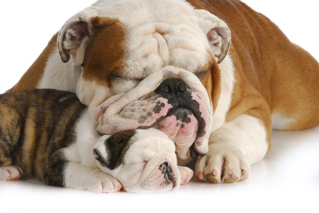dog family - english bulldog father and daughter sleeping on white background photo