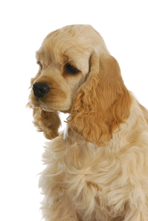 american cocker spaniel portrait on white background photo
