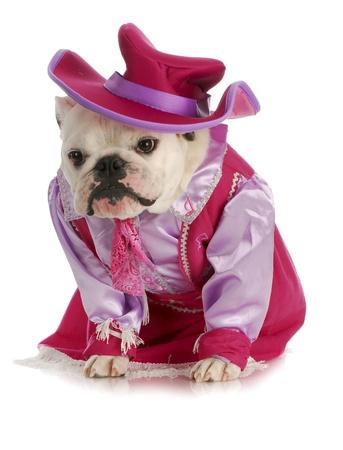 dog cowgirl - english bulldog dressed in cowgirl costume on white background photo